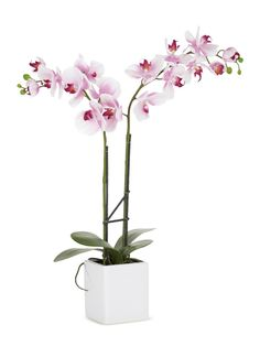 Potted Double Stem Kaleidoscope Orchid   orchids