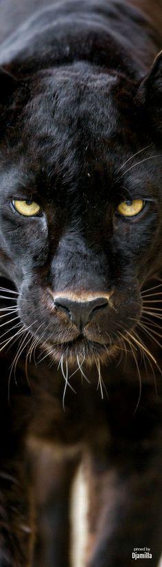 Black Panther /Jaguar