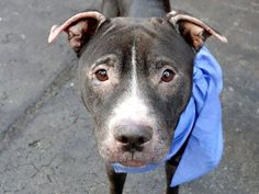 Manhattan Center   NIGHT BRIGHT aka NIGHT NIGHT - A1011992  FEMALE, BLACK / WHITE, PIT BULL MIX, 3 yrs OWNER SUR - EVALUATE, NO HOLD Reason OWNER SICK  Intake condition DISEASE Intake Date 08/26/2014, From NY 10026, DueOut Date 08/26/2014,  https://www.facebook.com/Urgentdeathrowdogs/photos/a.617938651552351.1073741868.152876678058553/861711377175076/?type=3&theater
