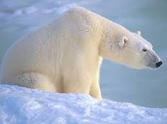 Image result for polar bear profile picture