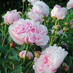 Flowers Nature, Beautiful Flowers, Paeonia Lactiflora, English Garden Design, Home And Garden Store, Garden Posts, Bouquet, Native Plants, Garden Inspiration