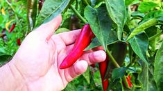 How to Grow Chilli Peppers All Year Round Growing Peppers, All Year Round, Garden Seeds, Seed Starting, Spring And Fall, The Creator, Stuffed Peppers, Gardening, Weeding