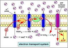The electron transport chain is one complicated beast health electron transport chain ccuart Images