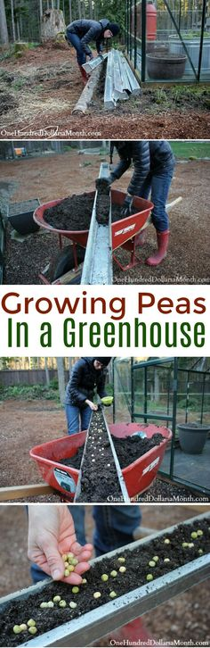 Growing Peas, Greenhouse Gardening, Growing Vegetables in a Greenhouse, Vegetable Gardening, Greenhouse Ideas