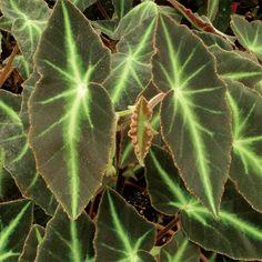 """Begonia listada (Begonia species) 12"""" to 16"""" tall"""