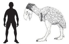 Scale drawing of the Gastornis next to man on @Jane Curtis Dinosaur
