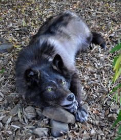 RESERVED : Black Wolf Soft Mount Taxidermy by AlmostAustralian on Etsy