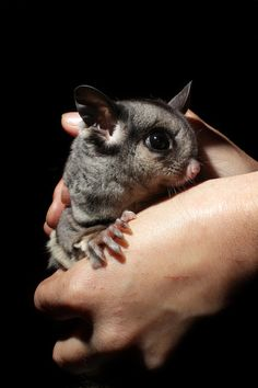 """Northern Glider? Squirrel Glider? One of the """"wild type"""" genome of Sugar Glider? THESE are the things I'd like to know more about!"""