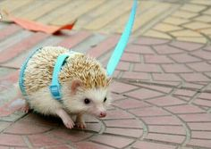 hedgehog traction rope from chinese shop)------just going walkies with my hedgie! Wouldn't that be luverly? Pygmy Hedgehog, Baby Hedgehog, Hedgehog Cage, Animals And Pets, Funny Animals, Cute Dogs, Cute Babies, Cute Little Animals, Cute Creatures