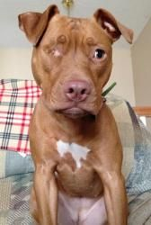 I want this baby girl.  Siri is an adoptable American Staffordshire Terrier Dog in Minneapolis, MN. Please visit our website at, www.saveabullmn.com , to find out when our next adoption event is. You can also call 612-816-20...