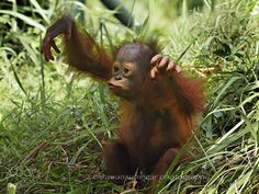 Marcel - Marcel is the name of the child male orangutan from Borneo, he was only 2 years old and live in captivity since he was born.