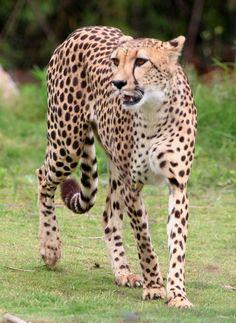 CHEETAH ~~Sharp eyesight and raw speed make the cheetah a formidable hunter.