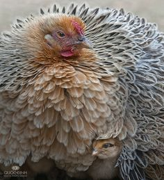 This is a beautiful chicken. What kind is it? It looks like a cross between a Wyandotte and a Buff or something?