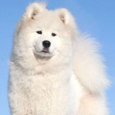 "Beautiful Samoyed- apparently ppl say Samoyeds as the ""dogs with Christmas in their eyes"" so true"
