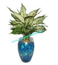 cây ngọc ngân : LH: 0902540649