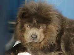 Manhattan Center   BLAZE - A1026607  *** NEW HOPE ONLY ***  MALE, BLUE, CHOW CHOW MIX, 5 yrs OWNER SUR - EVALUATE, NO HOLD Reason ALLERGIES  Intake condition UNSPECIFIE Intake Date 01/29/2015, From NY 10468, DueOut Date 01/29/2015,