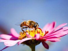 How do-gooders threaten humble bee - Nature - Environment - The Independent