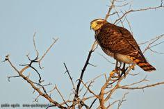 mis fotos de aves: Taguató común [Rupornis magnirostris] Roadside haw...