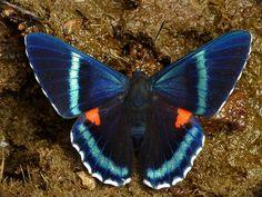 Riodinidae - Pesquisa Google