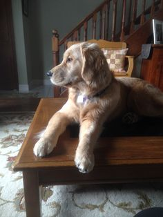 Golden beauty Puppy Pics, Puppy Pictures, Labrador Retriever, Puppies, Dogs, Animals, Beauty, Dog Photos, Labrador Retrievers