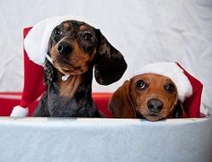 Merry Christmas from the Santa hat doggie duo! #xmasdogs