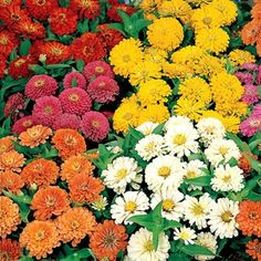 Zinnia Dreamland Hybrid Mix in The Big Seed Book from Park Seed on shop.CatalogSpree.com, my personal digital mall.