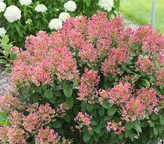 The name says it all -- this diminutive shrub throws fluffy, creamy spikes that turn to deep pink with red highlights on bold, red stems.
