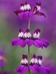 Collinsia Heterophylla Chinese Houses by Adam