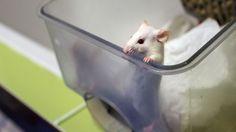 Education: disséquer des souris en classe de nouveau autorisé