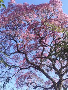 é inverno ou primavera? árvore em são paulo totalmente florida em pleno inverno #sãopaulo #saopaulo #sp #tree #ibirapuera #magenta #winter #spring #color #natureza
