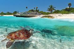 En havskildpadde ved Playa del Carmen i Mexico