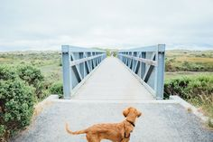 Roux (my Irish Setter - Golden Retriever mix puppy) ready to explore Limantour Beach in Tomales Bay on our California Road trip   Emilie Waugh Photography