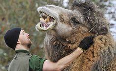 BACTRIAN CAMEL #wild #animals