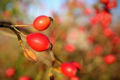 Rose Hips: the Hippest Fruit (with Amazing Health Benefits! Health Benefits, Health Tips, Red Fruit, Garden Plants, Home Remedies, Red Roses, Health And Beauty, Ale, Herbalism