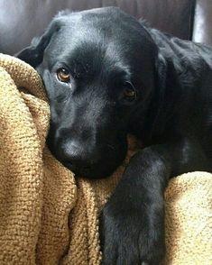 Labrador Retriever Pup ~ Classic Look #labradorretriever