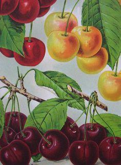 Cherries Vintage Fruit Print 1920's Botanical by rosekraft on Etsy