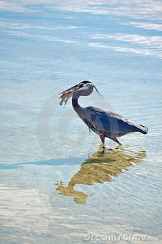 A great Blue Heron catching and swallowing a large Pompano Fsh in Florida.