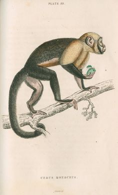 'Cebus monachus' [Large headed capuchin] - William Home Lizars Prints | The Royal Society