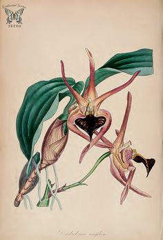 Black-tongued Orchid. Dendrobium amplum. (Paxton's) Magazine of Botany and Register Vol. 7 (1840)