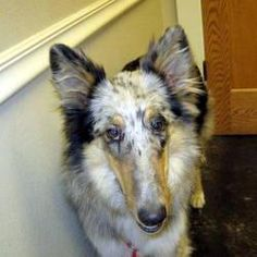 Gypsy IV is an adoptable Collie Dog in Little Rock, AR. Gypsy is a beautiful merle Collie puppy with loads of energy. She needs a good amount of exercise daily. Gypsy comes to CARE with no knowledge o...