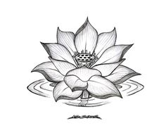 Pencil Sketches Lotus Flower 1000+ Images About Lotus Flowers On ...