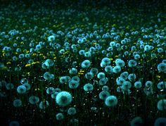 Dusk, Dandelion Meadow, Valley Park, Rockford, Illinois  photo from joinsey    my fave flower…♥