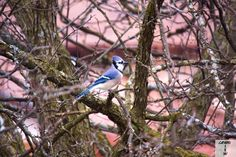 Busy morning in our yard, bluejays, juncos, and cardinals. Got couple shots of Blue Jays here's one of them.shot by Gavin Gillett