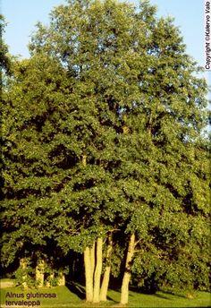 Tervaleppä - Alnus glutinosa
