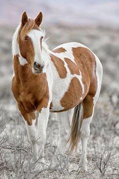 Wild Mustangs - Paint Horse