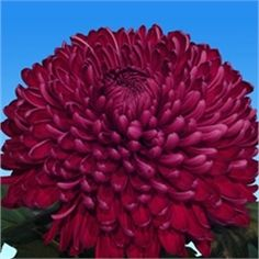 Chrysanthemum Blooms Sheer Purple are a purple, disbudded, single headed cut flower variety. 75cm tall & wholesaled in 10 stem wraps.