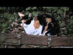 ▶ ジャパニーズボブテイル Bobtail japonais - YouTube