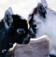 42 Trendy Ideas For Baby Animals Funny Pygmy Goats Mini Goats, Cute Goats, Baby Goats, Baby Pygmy Goats, Cute Funny Animals, Cute Baby Animals, Farm Animals, Animals And Pets, Pigmy Goats