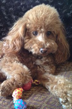 """Fetch"", my favorite human word! Red toy poodle, Wyatt."