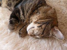 Kat op een schapenvacht van http://www.schaapsvacht.nl